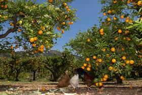 Idyllisch: Freilaufende Hühner unter den Orangenbäumen