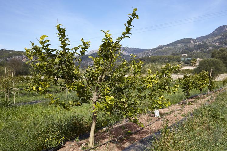 Baumpflanzung Fet a Sóller, Maerz 2020