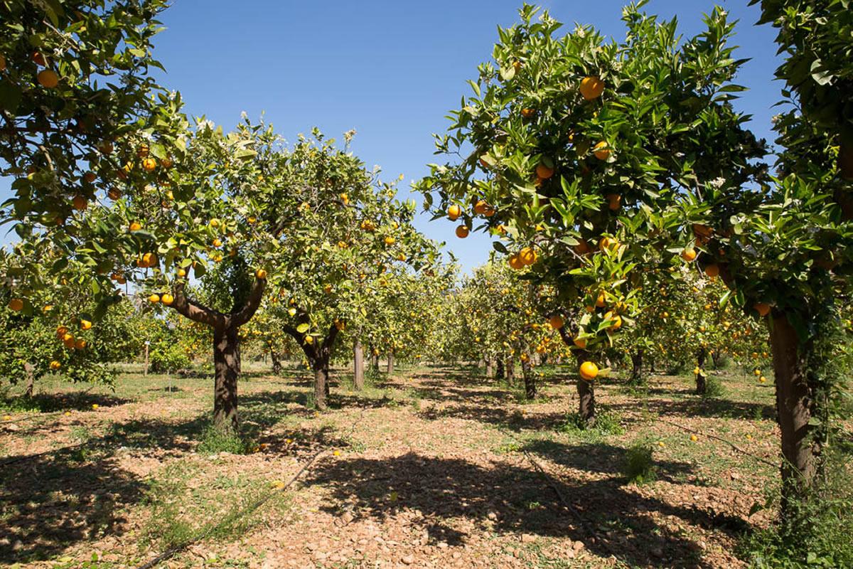 Huerto de naranjos al principio del invierno